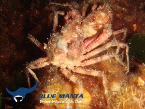 Atlanto-Mediterranean-Spider-Crab-Herbstia-condyliata