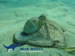 Common-Octopus-Octopus-vulgaris