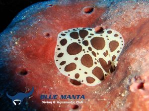 Dotted-Sea-Slug---Peltodoris-atromaculata