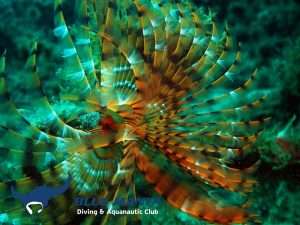 Feather-Duster-Worm-Spirographis-Spallanzani
