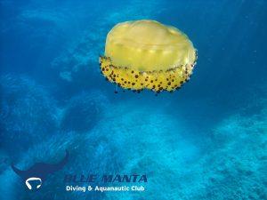 Fried-Egg-Jellyfish-Cotylorhiza-Tuberculata
