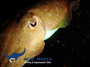 Mediterranean-Cuttlefish-Sepia-officinalis