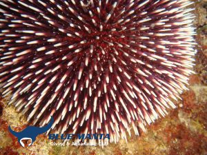 Purple-Sea-Urchin-Echinus-esculentus,-