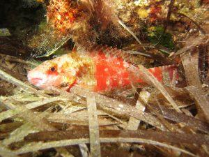 Mediterranean Parrotfish-Sparisoma cretense