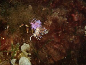 Pilgrm Nudibranch