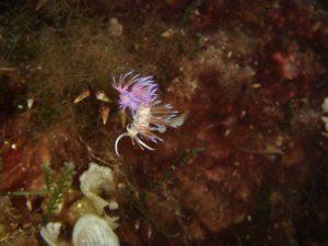 Pilgrm Nudibranch
