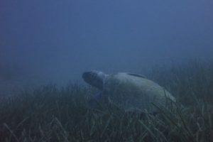 Loggerhead Turtle (Caretta caretta)