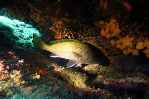 a brown meagre- Sciaena umbra in Kakaba reefs, Skala Kefalonia