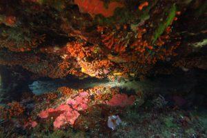 False Red Corals