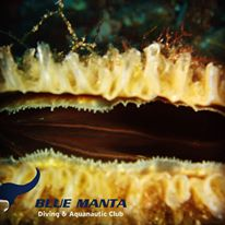 Fan Mussel (Pinna Nobilis) -Blue Manta Diving Club