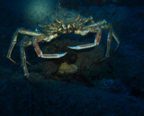 Spider Crab at Kapros German wreck